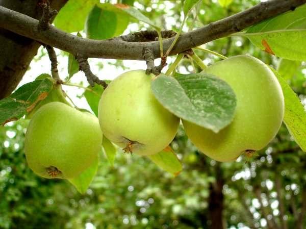 Прореживание плодов
