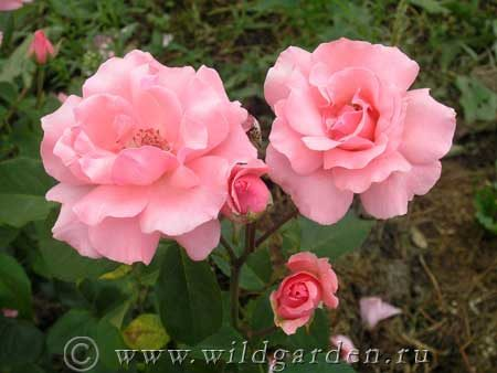 Восстановление роз