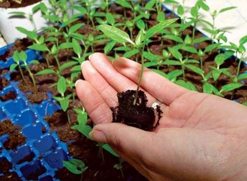 Выращивание из семени